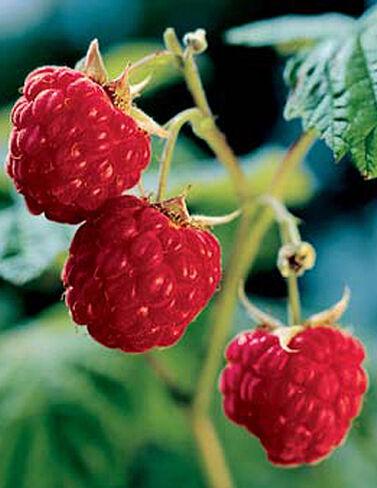 Heritage Red Raspberries, 5 Canes Raspberries, Raspberry, Raspberry Plants, Raspberry Roots, Berry Plants, Berry Garden, Fruit Garden