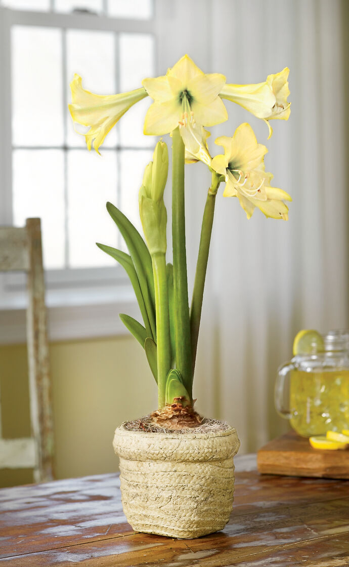 Honeybee amaryllis yellow amaryllis bulbs for Pot amaryllis