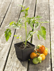 4th of July Tomato Plant