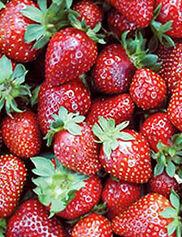 Seascape Strawberries, 25 Plants