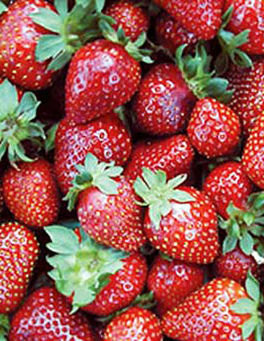Seascape Strawberries, 25 Plants Strawberries, Strawberry Plants, Strawberry Starts, Strawberry Roots, Strawberry, Garden Plants