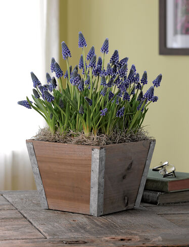 Muscari in Rustic Container