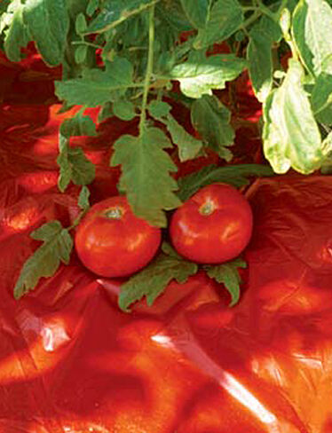 Red Tomato Mulch, Set of 8