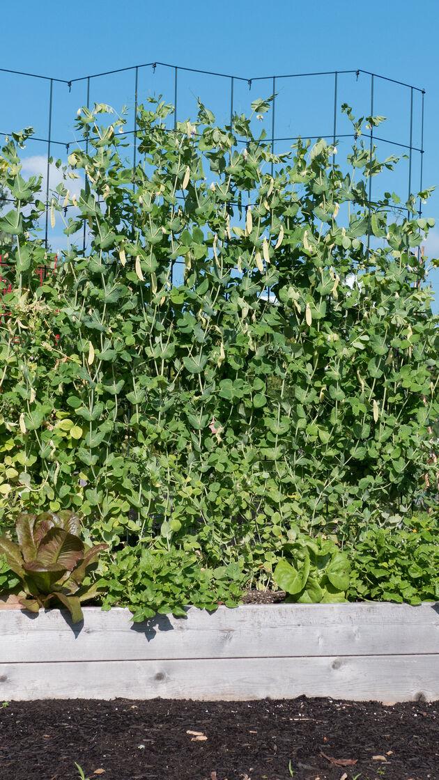 Pea Trellis Tall And Expandable Steel Trellis Gardener