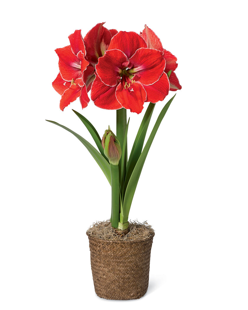 Magical touch potted amaryllis in basket red amaryllis w for Pot amaryllis