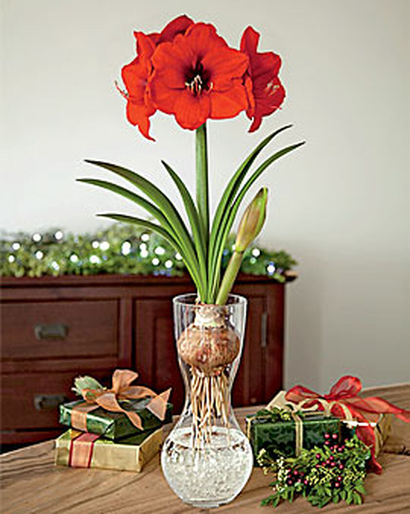 amaryllis in a glass vase buy from gardener 39 s supply. Black Bedroom Furniture Sets. Home Design Ideas