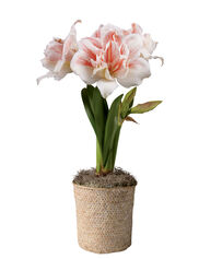 Sweet Dreams Potted Amaryllis