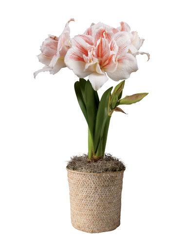 Amaryllis bulb sweet dreams potted amaryllis white pink for Pot amaryllis