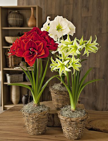 Amaryllis Collection, Set of 3