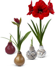 Easy Care Waxed Amaryllis