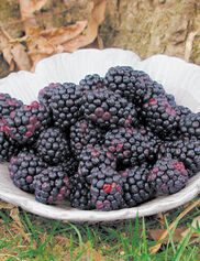 Chester Thornless Blackberries, 5 Canes
