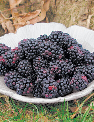 Chester Thornless Blackberries, 5 Canes Blackberry, Blackberries, Blackberry Plants, Blackberry Roots, Blackberry Starts, Berry Plants