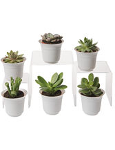 Succulent Terrarium Plant Collection, Set of 6