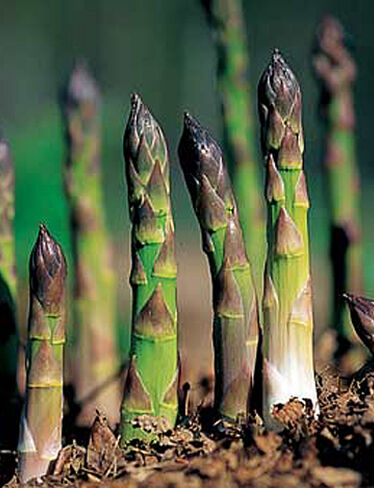 Jersey Supreme Asparagus, 25 Crowns