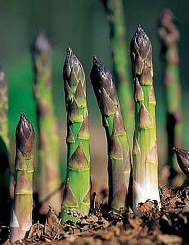 Jersey Supreme Asparagus, 25 Crowns Asparagus Seed, Asparagus Crowns, Asparagus Plants, Asparagus Roots, Garden Asparagus, Garden Seeds