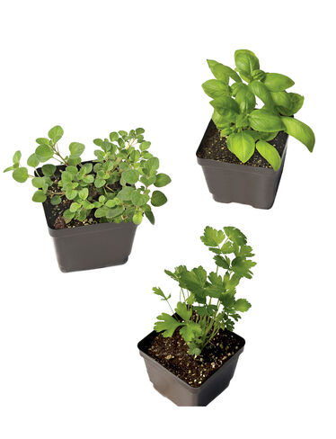 Italian Herb Collection, Set of 3