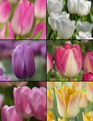 Triumph Tulip Bulb Collection, Set of 60