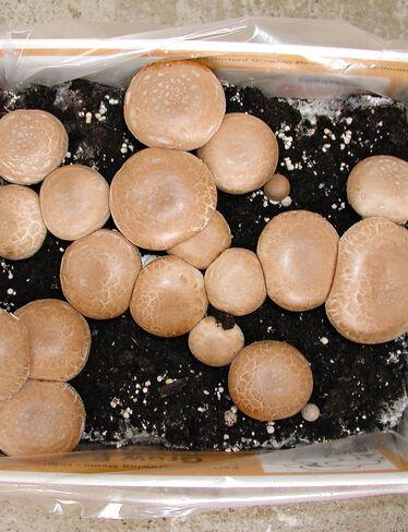 Crimini Baby Bella Mushroom Kit