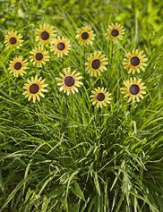 Black Eyed Susan Stakes, Set of 13