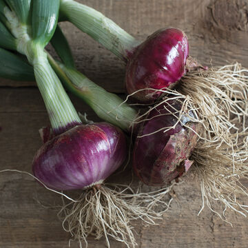 All-Season Onions