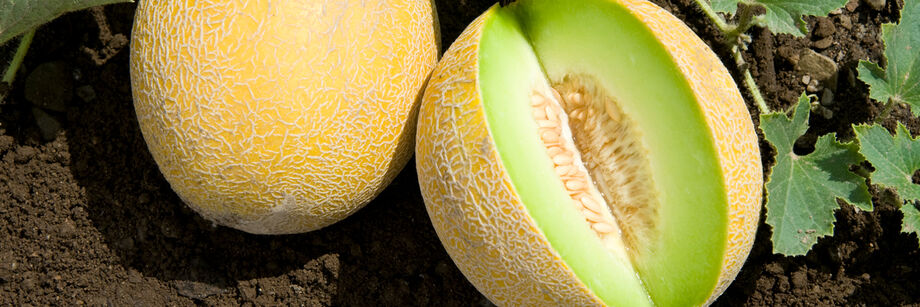 Galia Melons (Tropical)