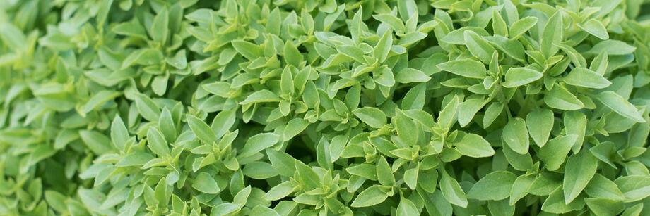 Fine Leaf Basil