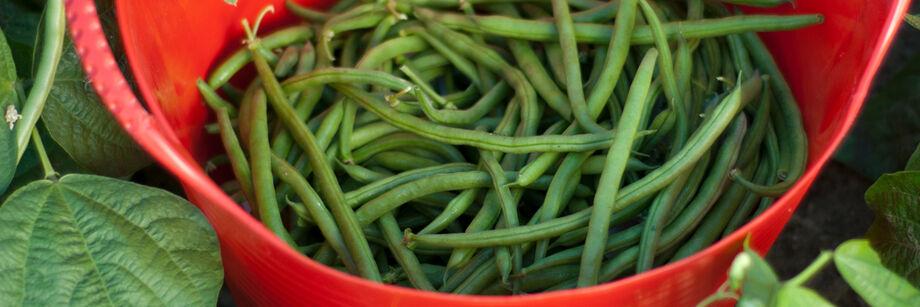 Bush Beans