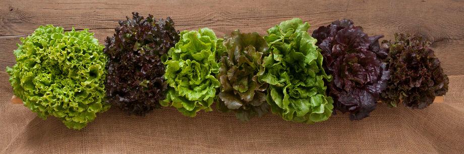 Summer Crisp Lettuce (Batavia)