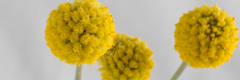 Craspedia (Drumstick Flower)
