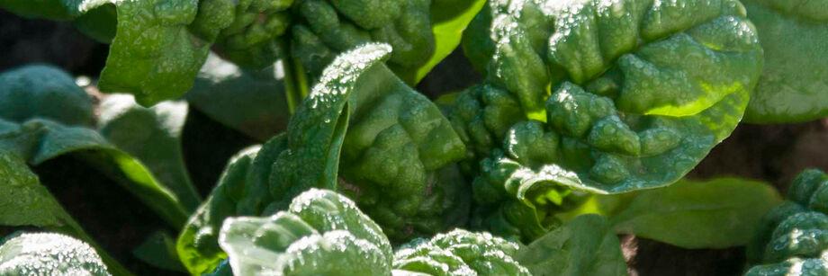Savoyed-Leaf Spinach