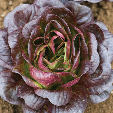 Adaptable Lettuce