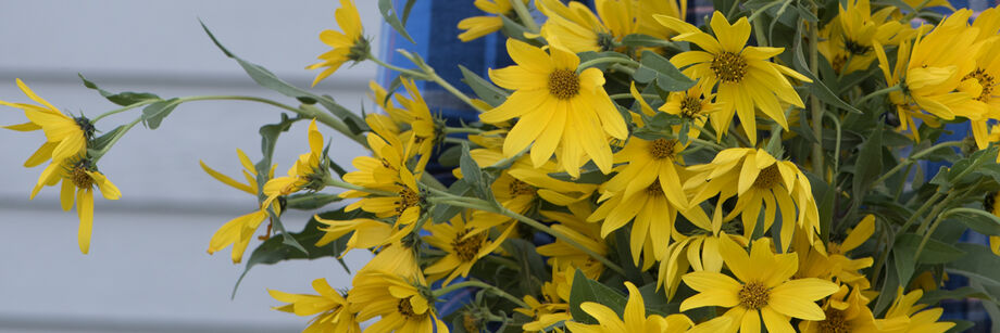Maximilian (Perennial Sunflower)