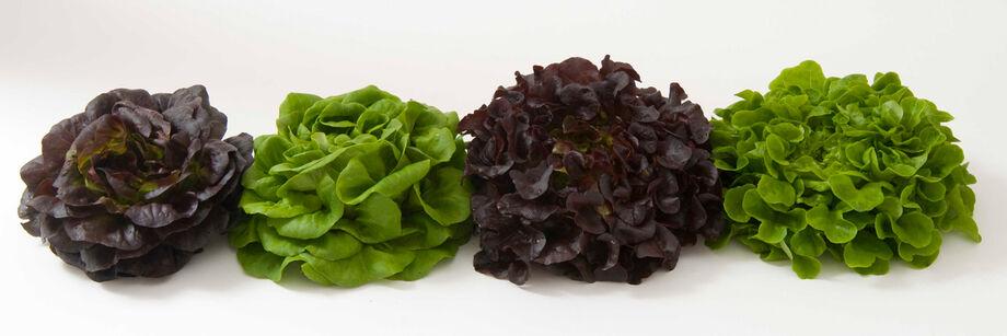 Salanova® Lettuce