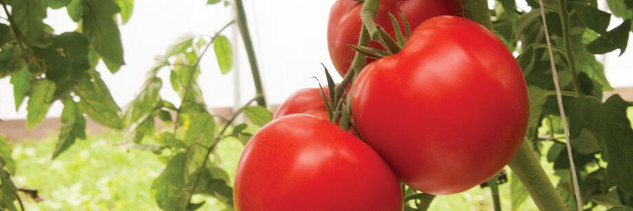 Rootstock Tomatoes