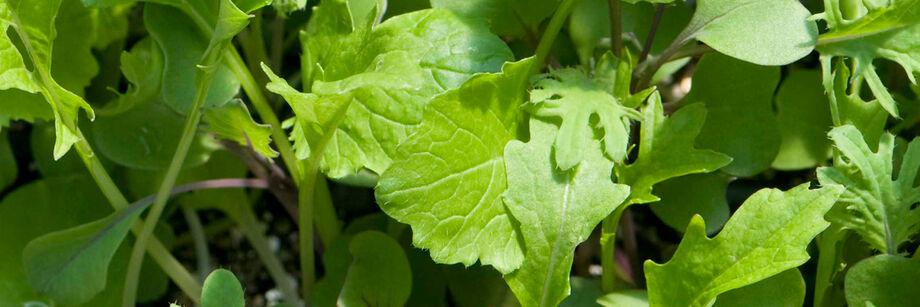 Slow Growing Varieties