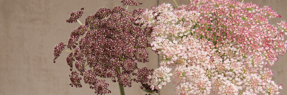 Ammi (False Queen Anne's Lace)