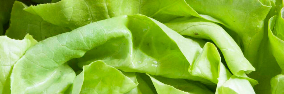 Butterhead Lettuce (Boston)