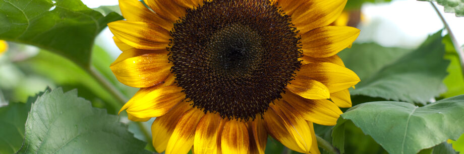 tall, singlestem sunflower seeds  johnny's selected seeds, Beautiful flower