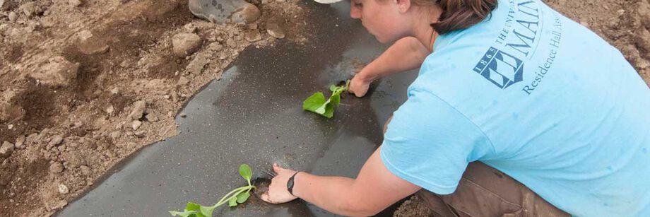 Solid Plastic (Polyethylene) Mulch