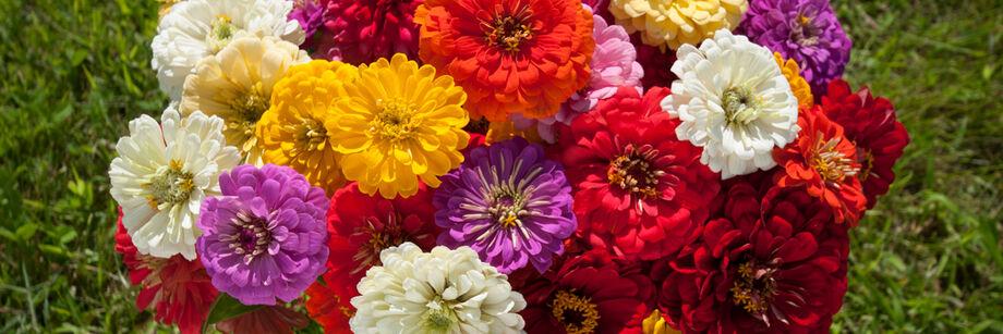 Giant Dahlia Flowered Series