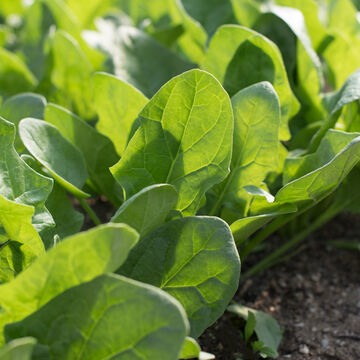 Rugged Spinach