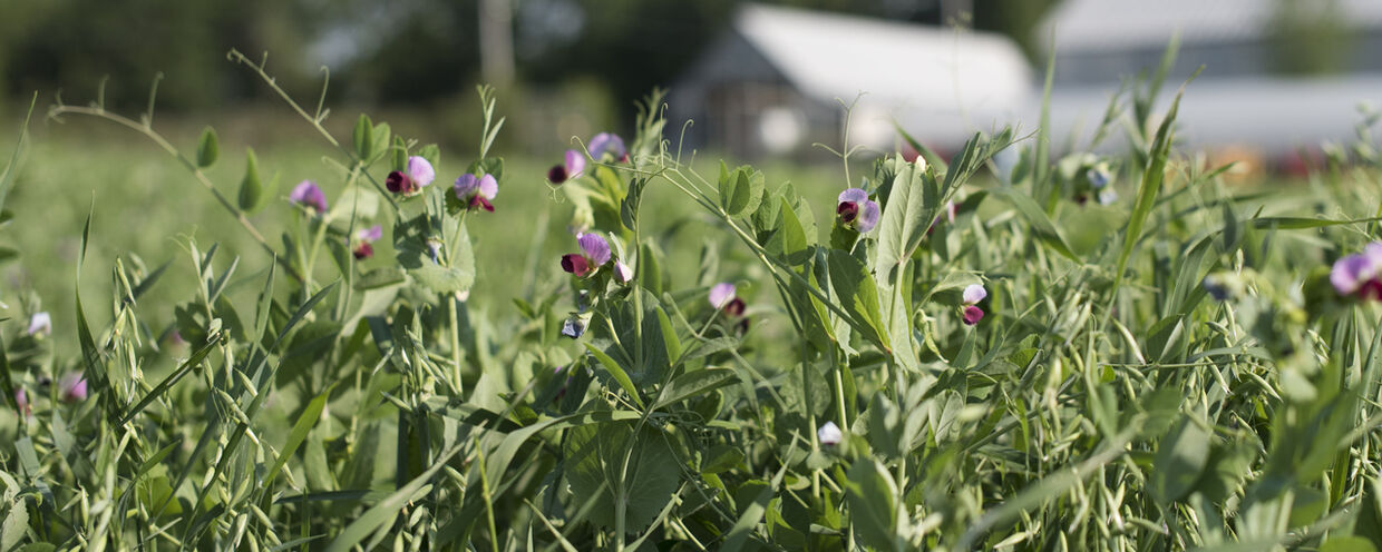 Protect Bare Ground with Spring Cover Crops