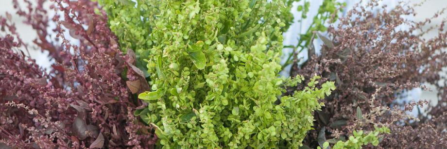 滨藜属植物