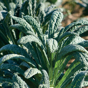 Cold-Hardy Kale