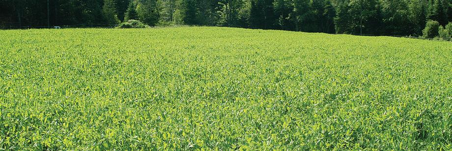 Spring Green Manure