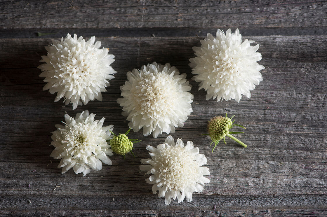 Snowmaiden Scabiosa Seed Johnnys Selected Seeds