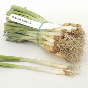 Walla Walla Onion Plants
