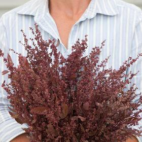 红羽滨藜属