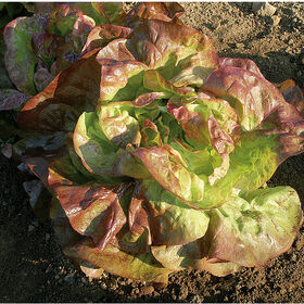 Red Cross Butterhead Lettuce (Boston)