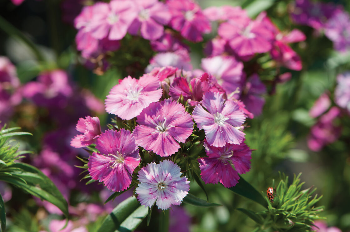 Amazon Neon Rose Magic Pelleted Dianthus Johnnys Selected Seeds